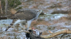Goshawk feeding on crow Stock Footage