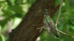 Magnificent Hummingbird 1 Stock Footage