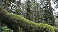 Beautiful Alaskan Mossy Trees Scenic Stock Footage