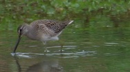 Long-billed Dowitcher 4 Stock Footage