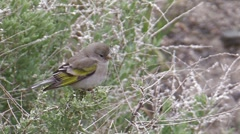Lawrence's Goldfinch 4 Stock Footage