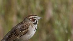 Lark Sparrow 4 Stock Footage