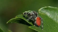 Jumping Spider 2 Stock Footage
