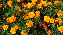 Marigold flowers, pan Stock Footage