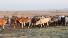Cattle of Masai Mara in Morning Light (HD) Stock Footage