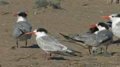 Elegant and Royal Tern 1 Stock Footage