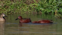 Cinnamon Teal 1 Stock Footage
