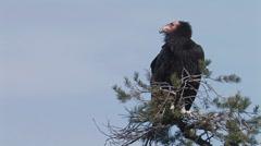 California Condor 3 - stock footage
