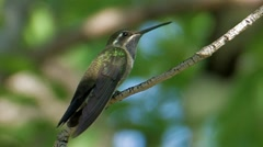 Blue-throated Hummingbird 1 Stock Footage