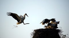 Stork slow motion 2 Stock Footage