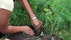 Female hands uproot carrots - stock footage