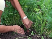 Female hands uproot carrots Stock Footage