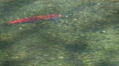 Sockeye Salmon in Dappled Sunlight Stock Footage