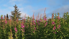 Fireweed and Clouds Stock Footage