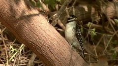 Nuttall's Woodpecker 2 Stock Footage
