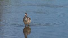 Sandpiper at Lakes Edge Green Grasses Reflecting Stock Footage
