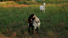 Nanny goats to fall on meadow - stock footage