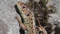 Lacerta agilis / sand lizard resting on rock Stock Footage