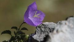 Blue mountain flowers on rock in summer Stock Footage