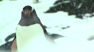 Stock Video Footage of penguin