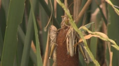 A grasshopper inches down the weeds - stock footage