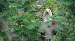 American bald eagle, wild Stock Footage