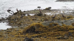 American bald eagles on beach feeding Stock Footage