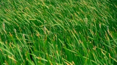 Cat tail Grass Blowing in the Wind Green Wetlands Stock Footage