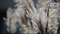 Silver feather grass Stock Footage