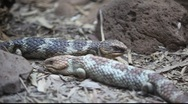 Stock Video Footage of Shingleback Skink
