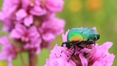 Big green bug - stock footage