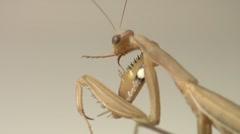 Brown European Praying Mantis on White Background Stock Footage
