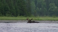 Stock Video Footage of bull moose eating