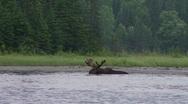 Stock Video Footage of bull moose eating