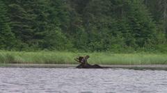 Bull moose eating3 Stock Footage