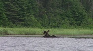 Stock Video Footage of bull moose eating3