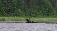 Stock Video Footage of bull moose eating3