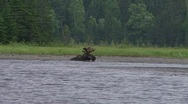 Stock Video Footage of bull moose eats