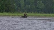 Stock Video Footage of bull moose eats