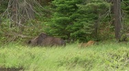 Stock Video Footage of calf and moose cow2
