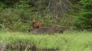 Stock Video Footage of calf and moose cow4