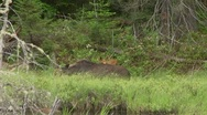 Stock Video Footage of calf and moose cow5