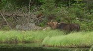 Stock Video Footage of calf and moose cow6