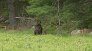 Stock Video Footage of calf and moose cow7
