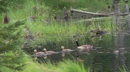 Stock Video Footage of Canada goose goslings