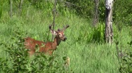 Stock Video Footage of white tail buck deer