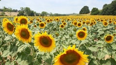 Sunflowers in a summer field in Tuscany, Italy Stock Footage