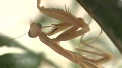 Praying Mantis Hiding Under Foliage Stock Footage