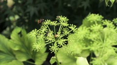 Nature Japan - Bee on flower Stock Footage