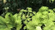 Nature Japan - Bee on flower Stock Footage
